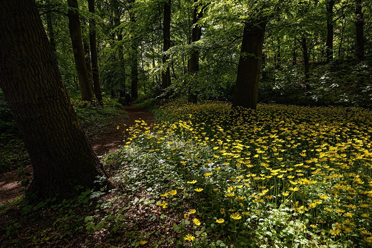 Фотографии Природа тропинка лес Лютик деревьев Тропа тропы Леса дерево дерева Деревья