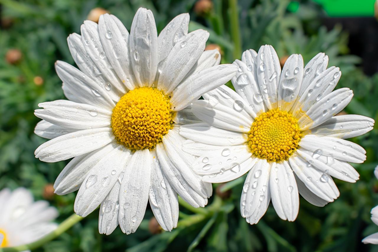 Фото Размытый фон Белый Цветы Капли Ромашки вблизи боке белая белые белых капля капель цветок ромашка капельки Крупным планом