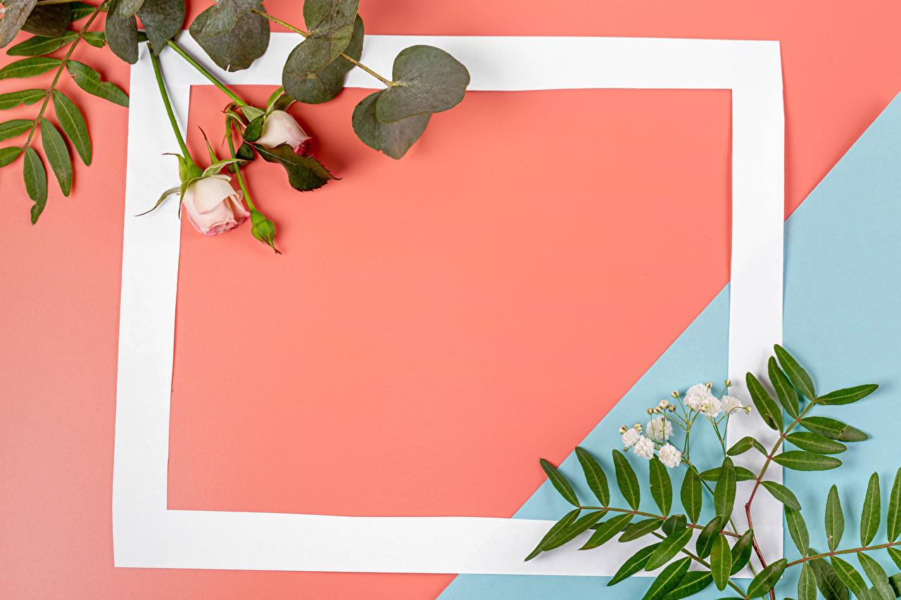 Фотографии Розы Цветы на ветке Шаблон поздравительной открытки Бутон роза цветок ветвь ветка Ветки