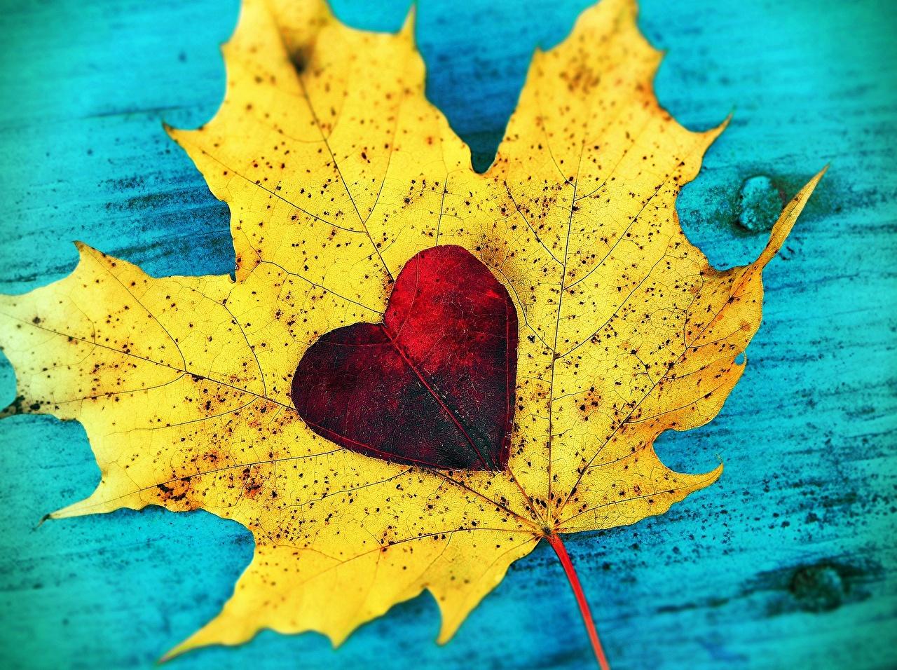 Обои для рабочего стола Листва сердца Клён Осень Природа вблизи лист Листья серце Сердце сердечко клёна клёновый осенние Крупным планом