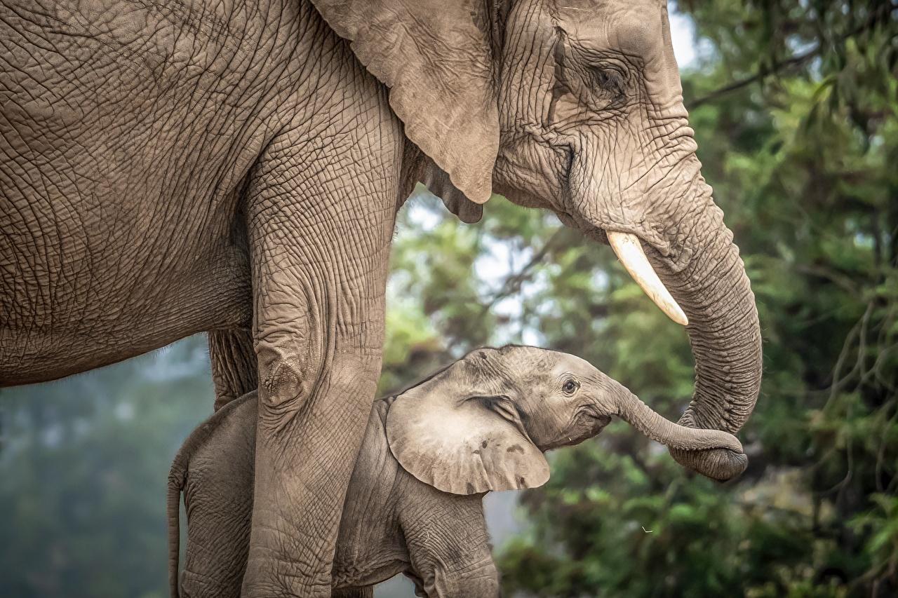 Обои для рабочего стола Слоны Детеныши два Животные слон 2 две Двое вдвоем животное
