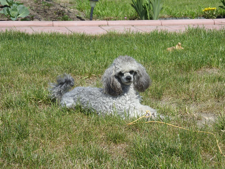 Картинка пудели Собаки Трава Животные пуделя Пудель собака траве животное