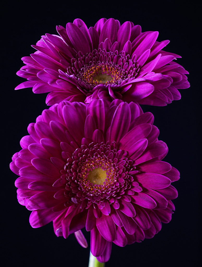 Фото вдвоем Герберы Фиолетовый Цветы вблизи Черный фон 2 Двое Крупным планом