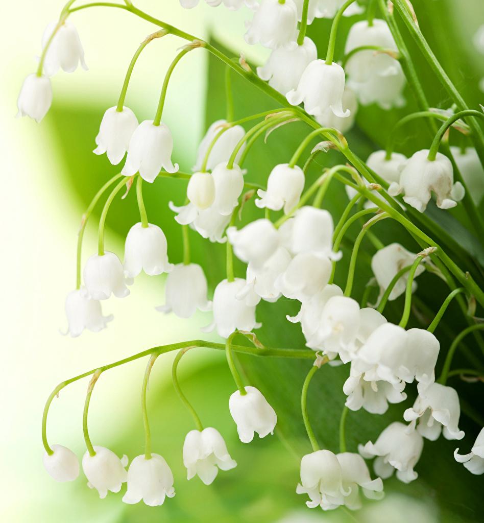 Фотография цветок Ландыши Крупным планом Цветы вблизи