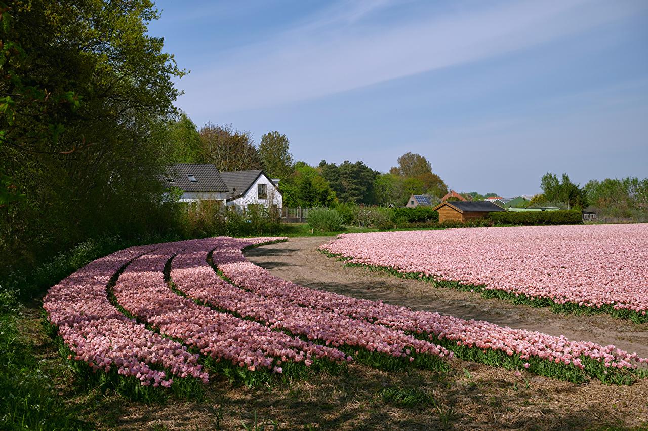Фото Нидерланды Egmond Природа Розовый Тюльпаны Поля цветок Много голландия тюльпан розовая розовые розовых Цветы