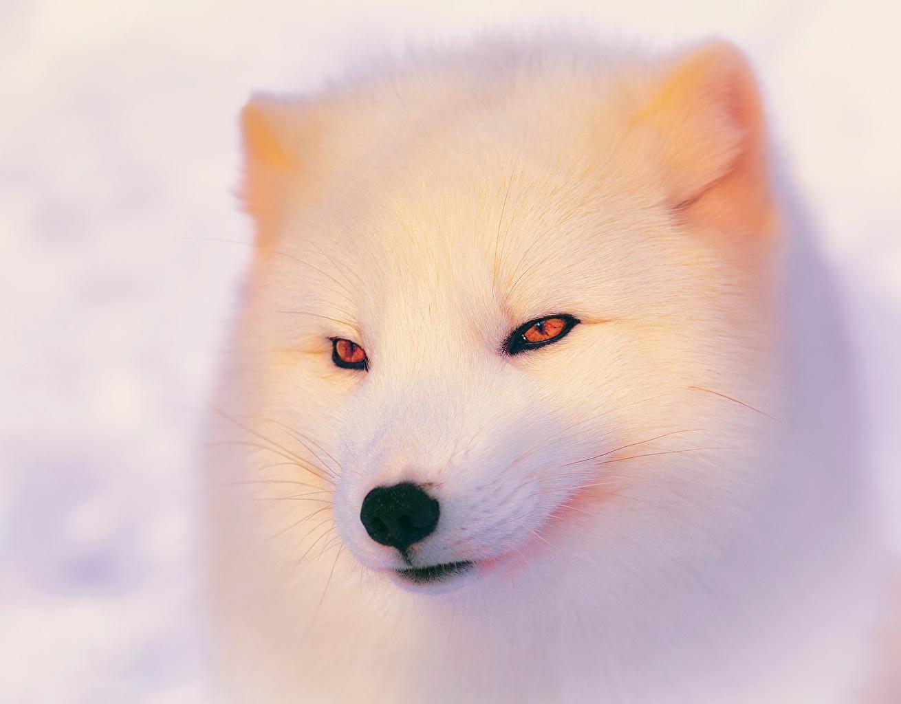 Фото Лисы Белый Взгляд Животные Лисица белая белые белых смотрит смотрят животное