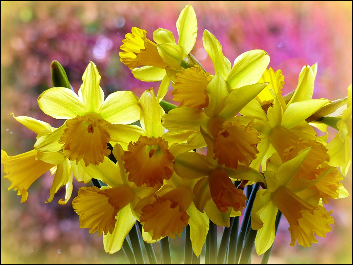 Фотография желтая Цветы Нарциссы вблизи желтых желтые Желтый цветок Крупным планом