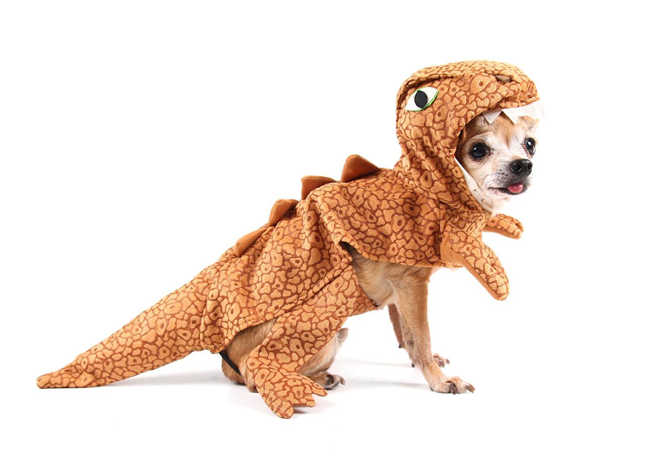 Фотография Чихуахуа собака Динозавры униформе животное белом фоне Собаки динозавр Униформа Животные Белый фон белым фоном
