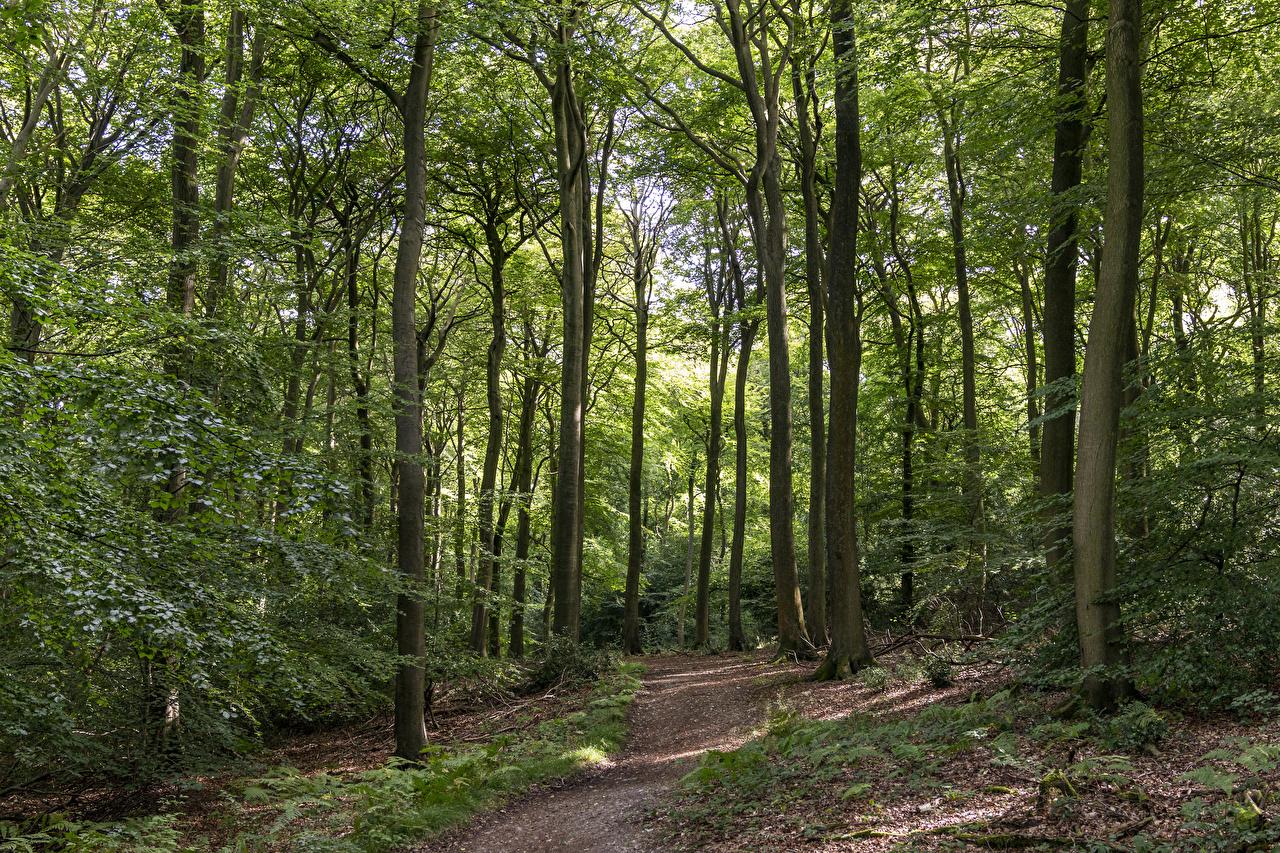 Фото Англия Bradenham тропы Природа лес дерева Тропа тропинка Леса дерево Деревья деревьев