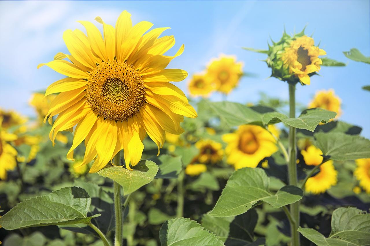 Картинка боке цветок Подсолнухи Размытый фон Цветы Подсолнечник