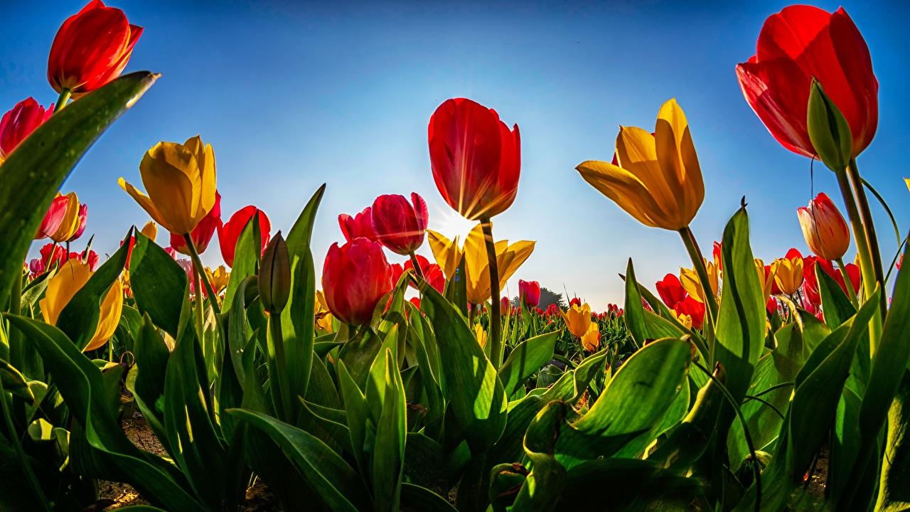 Картинки Лучи света Тюльпаны Поля цветок тюльпан Цветы