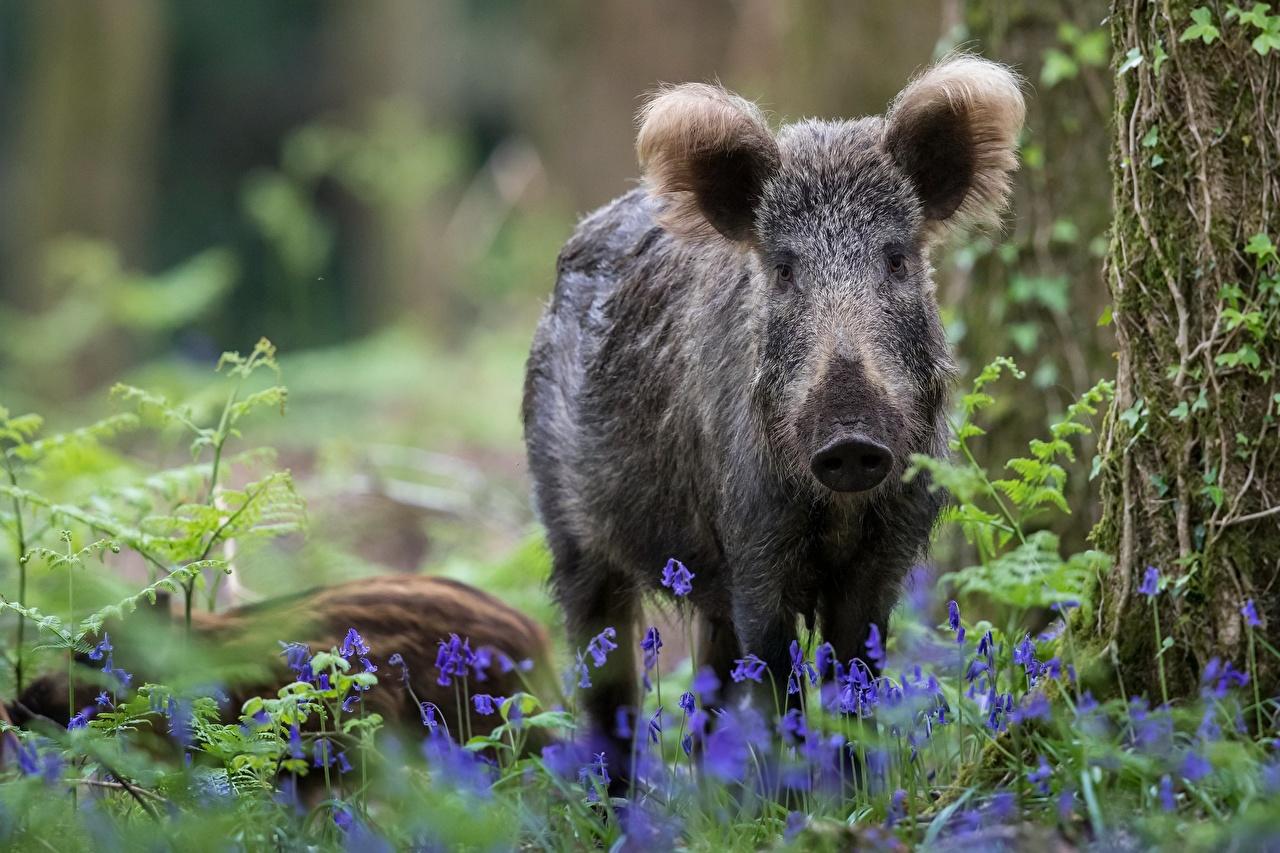 Фотография Кабан животное дикая свинья Животные