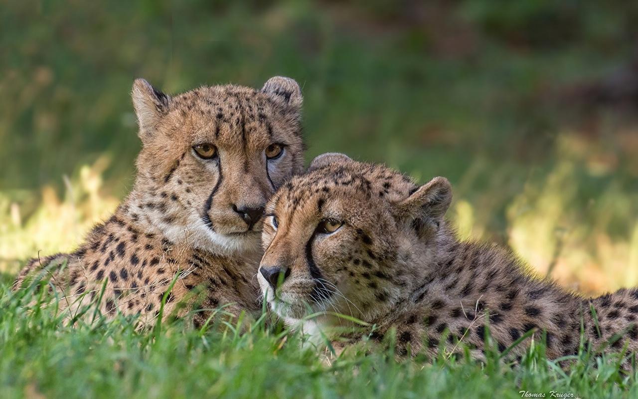 Картинка гепард Большие кошки Двое животное Гепарды 2 два две вдвоем Животные
