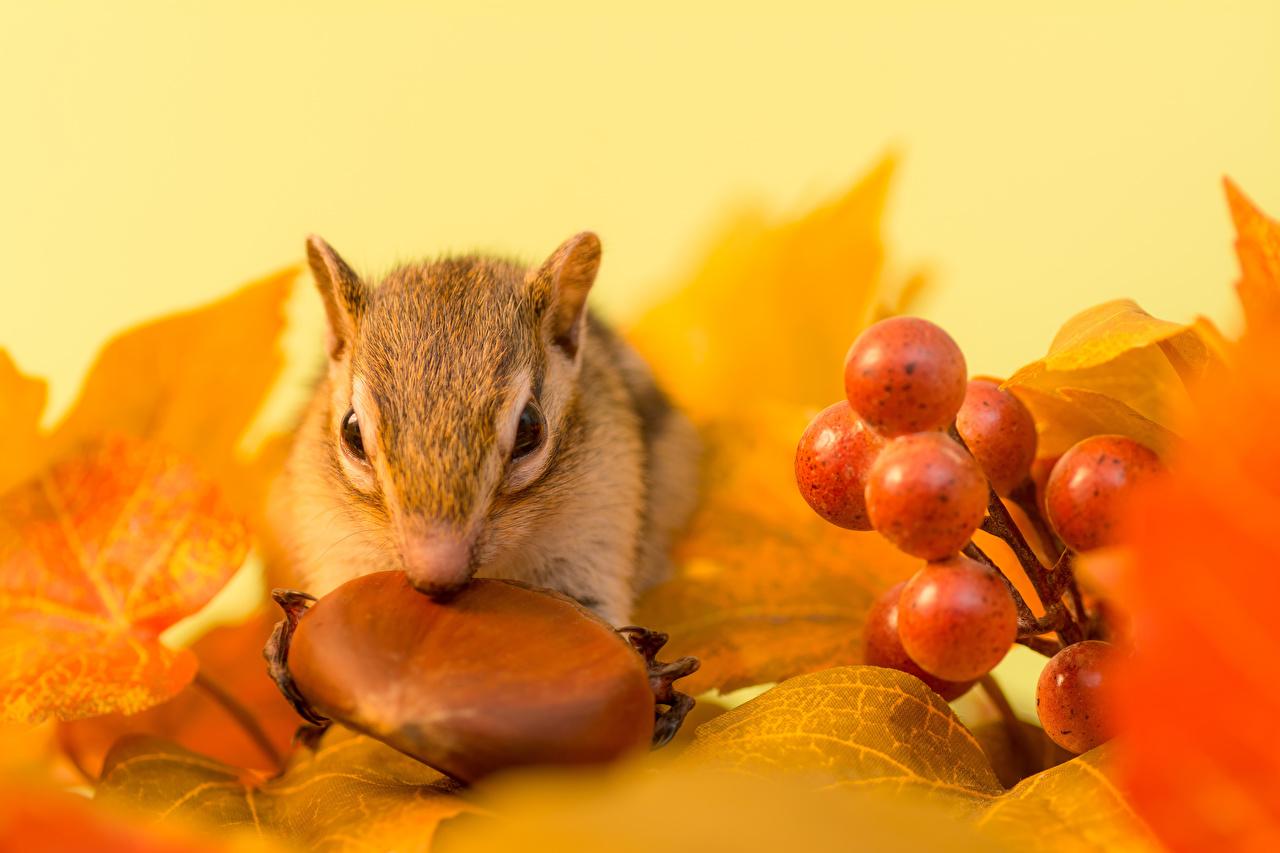 Фотография Грызуны Бурундуки Листья осенние Виноград Орехи Животные лист Листва Осень животное