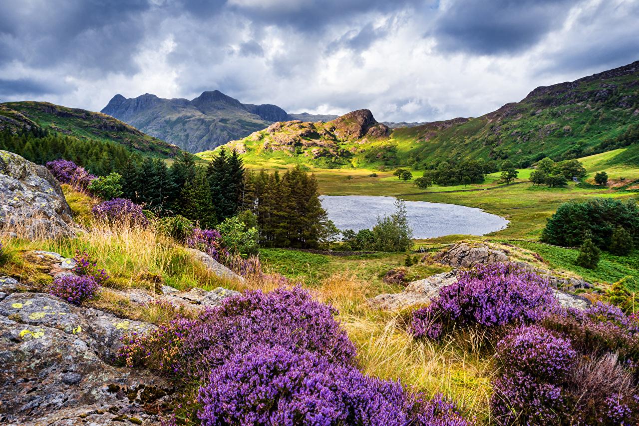 Фото Великобритания Cumbria Ель Горы Природа Озеро Холмы Лаванда