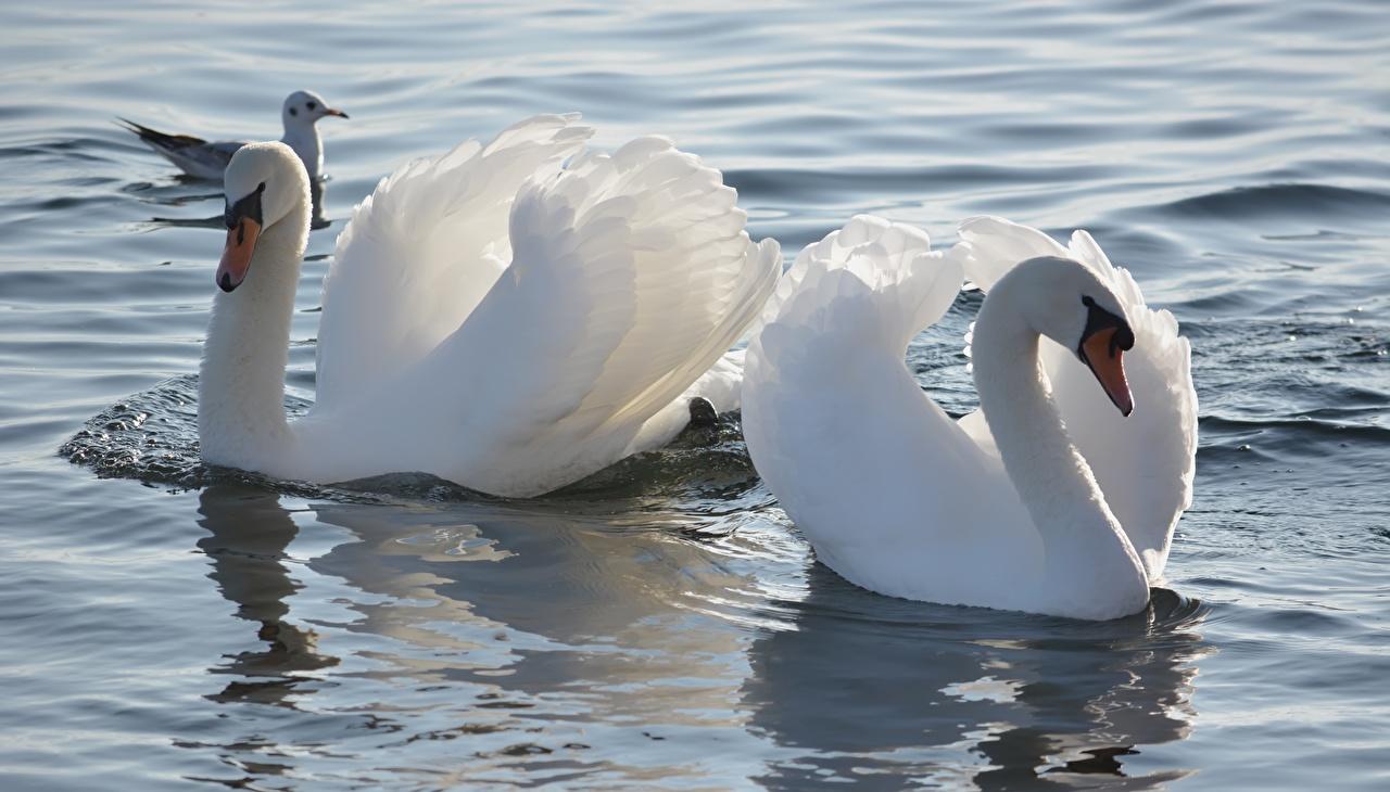 Фотографии Птицы лебедь белые вдвоем Цветы Вода птица Лебеди 2 два две Двое белая Белый белых цветок воде