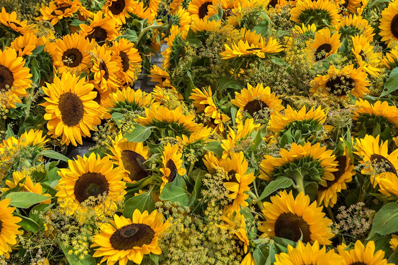 Фото Цветы Подсолнечник Много цветок Подсолнухи