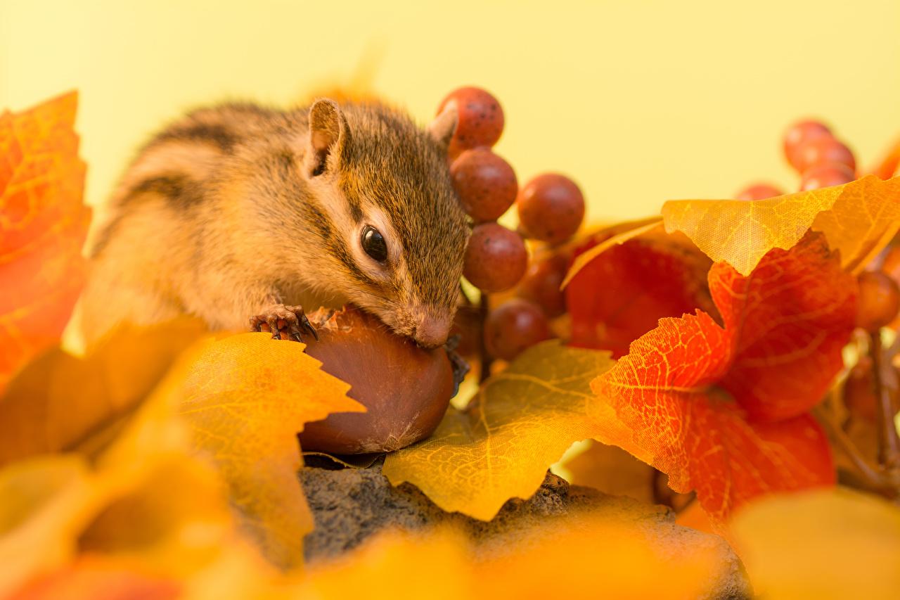 Фотография Грызуны Бурундуки лист осенние Виноград Орехи животное Листва Листья Осень Животные