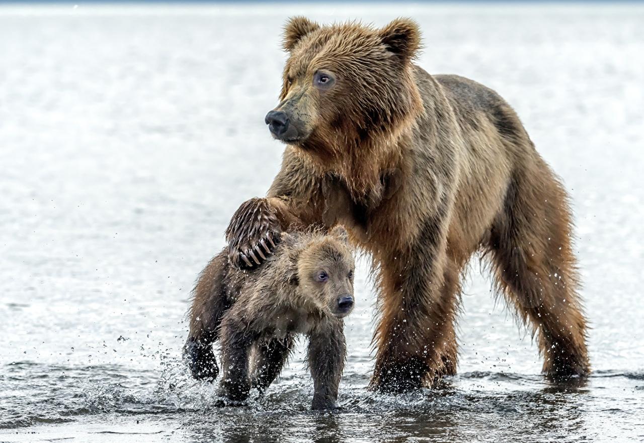 Картинки Гризли Медведи Детеныши Двое воде Животные Бурые Медведи медведь 2 два две вдвоем Вода животное