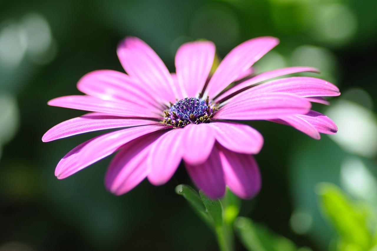 Картинки Размытый фон Остеоспермум фиолетовых Цветы вблизи боке фиолетовая фиолетовые Фиолетовый цветок Крупным планом