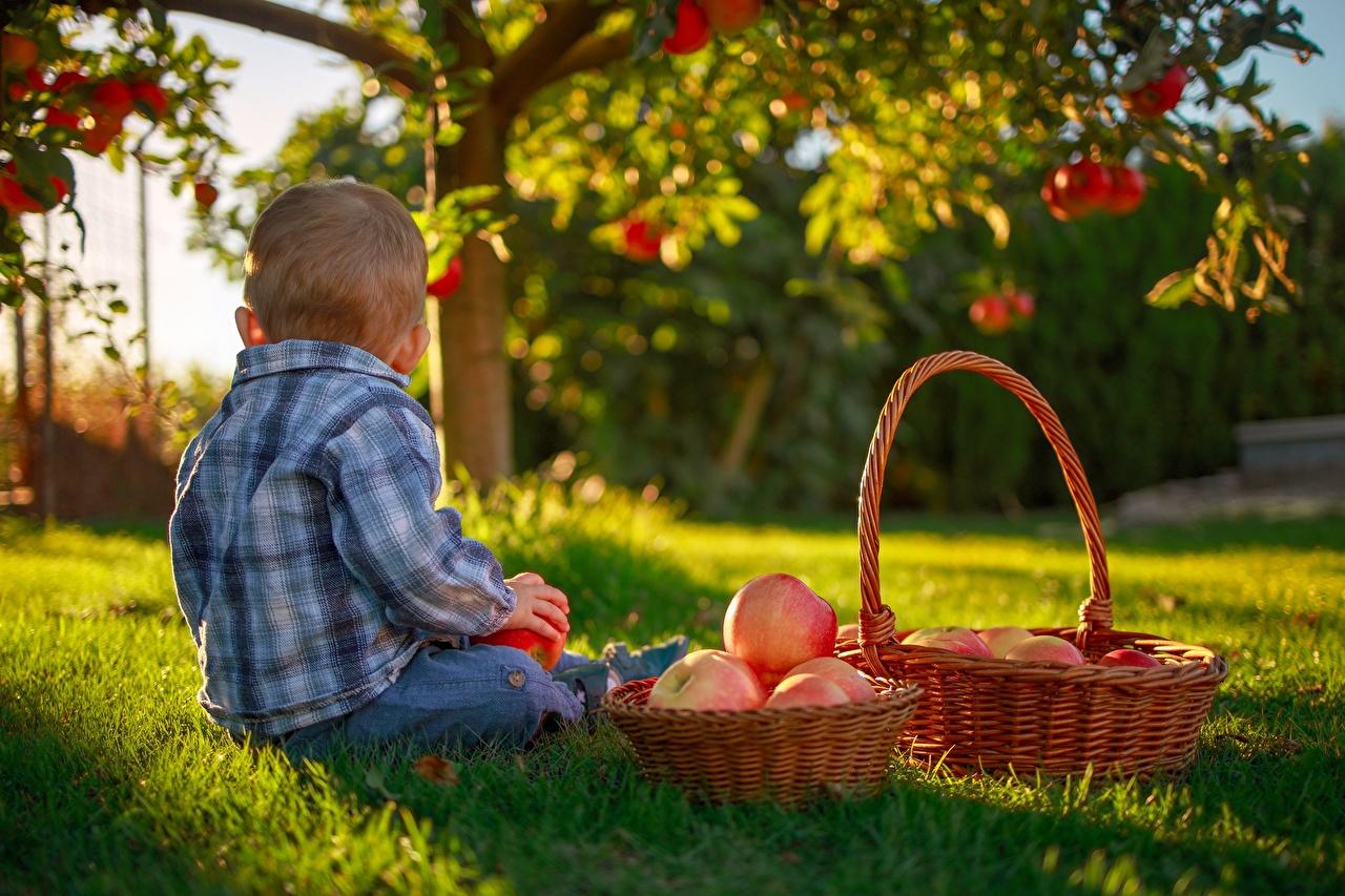 Фото мальчишки Дети Яблоки Корзина траве сидящие мальчик Мальчики мальчишка ребёнок корзины Корзинка сидя Трава Сидит