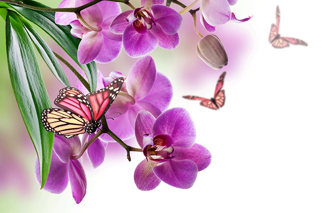 Обои для рабочего стола бабочка Орхидеи фиолетовые цветок Бабочки орхидея фиолетовых фиолетовая Фиолетовый Цветы