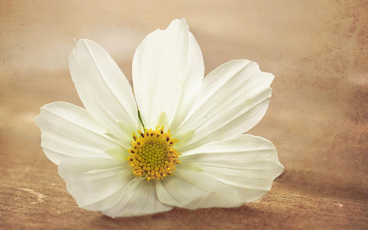 Фотографии белых цветок Космея вблизи Белый белые белая Цветы Крупным планом