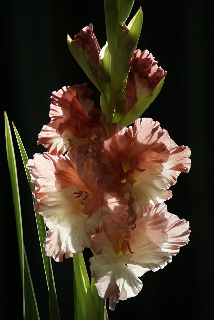 Картинки Цветы Гладиолусы вблизи на черном фоне  для мобильного телефона цветок гладиолус Черный фон Крупным планом