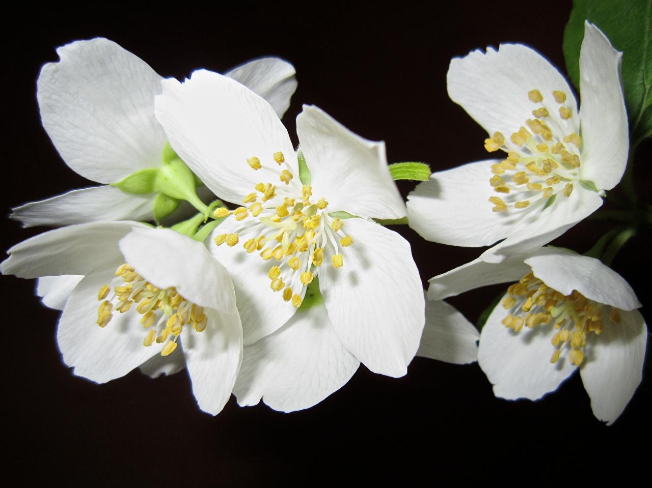 Картинка Жасмин Белый цветок на черном фоне Крупным планом белых белые белая Цветы вблизи Черный фон