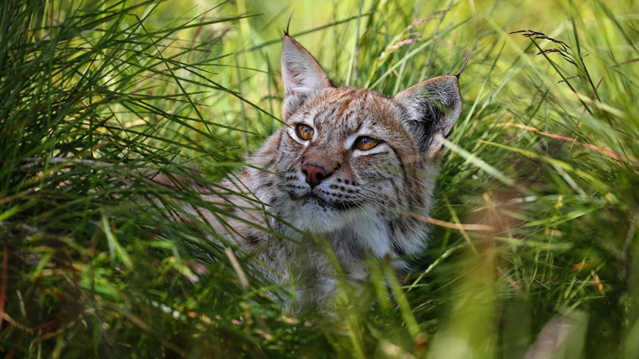 Картинки Рыси Трава Взгляд Животные смотрит