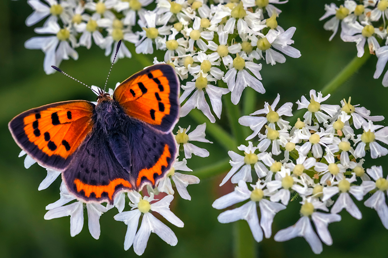 Фотография бабочка Насекомые small copper животное Крупным планом Бабочки насекомое вблизи Животные