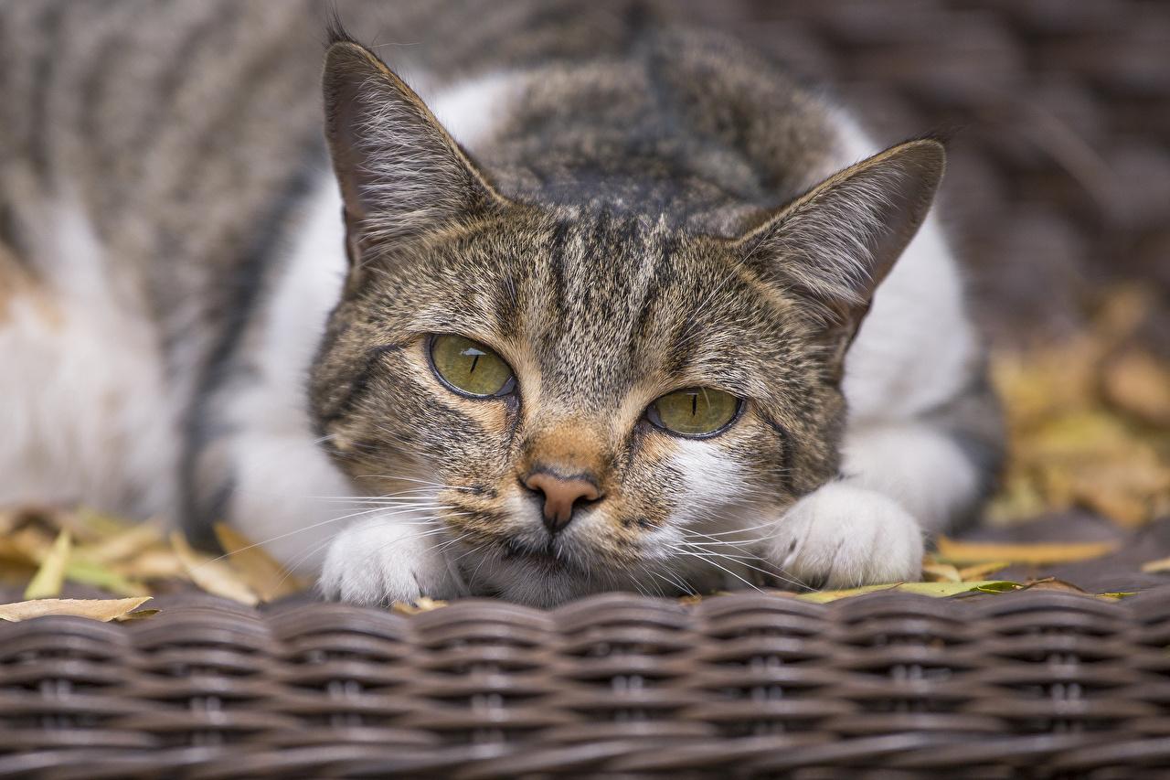 Фотография коты Лапы морды смотрит животное кот кошка Кошки лап Морда Взгляд смотрят Животные