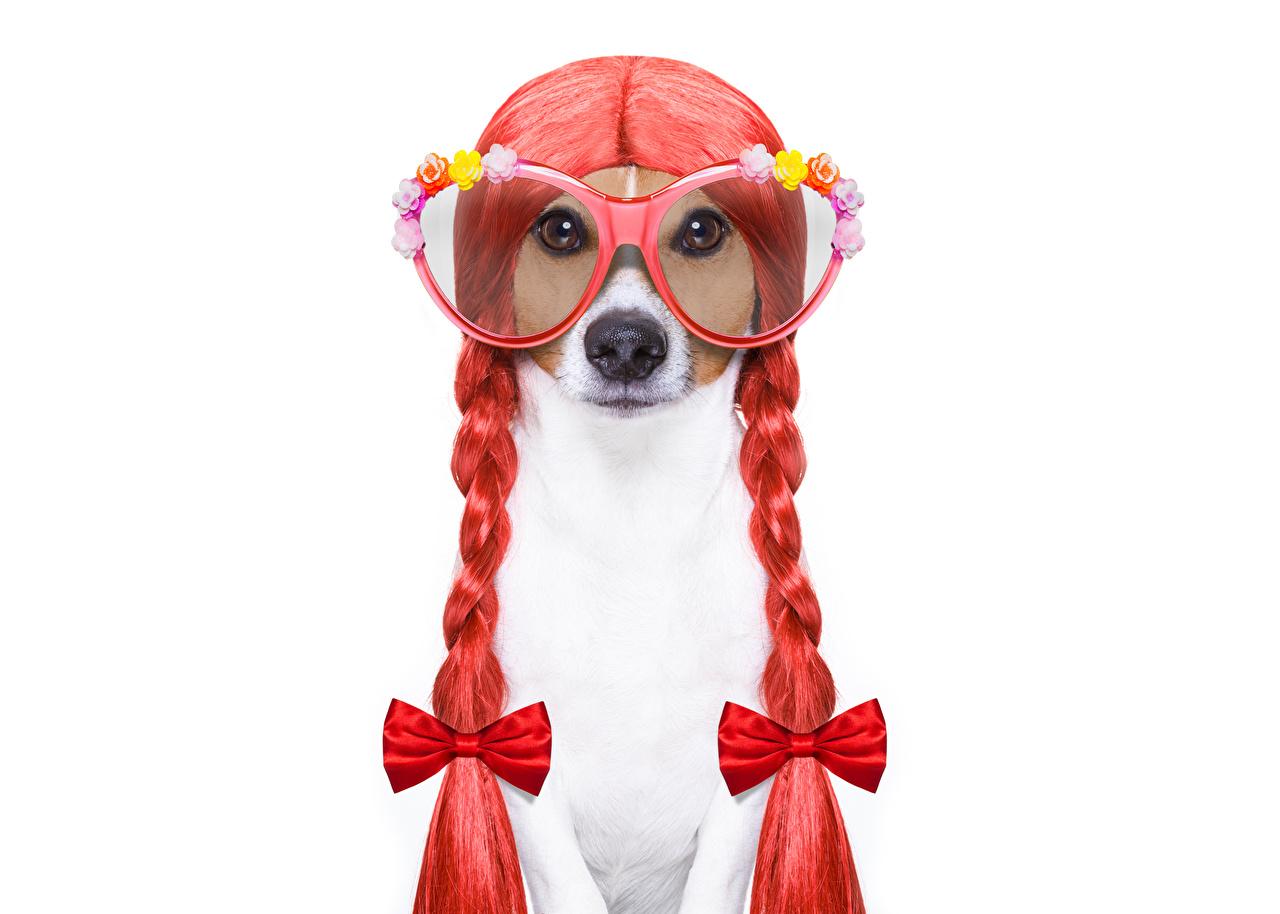 Фотографии Джек-рассел-терьер Собаки косички Смешные оригинальные Очки Бантик Животные Белый фон Коса забавные Креатив
