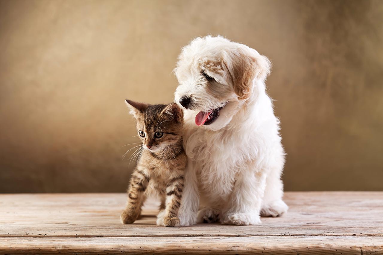 Обои для рабочего стола котенка Болоньез кошка собака 2 животное котят Котята котенок кот коты Кошки Собаки два две Двое вдвоем Животные