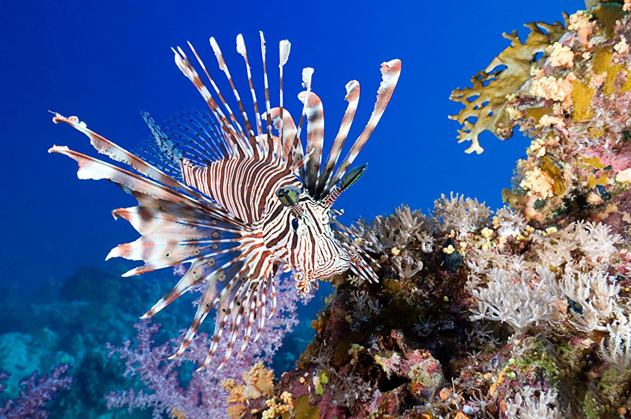 Фото Крылатки Рыбы Подводный мир Кораллы Животные крылатка животное