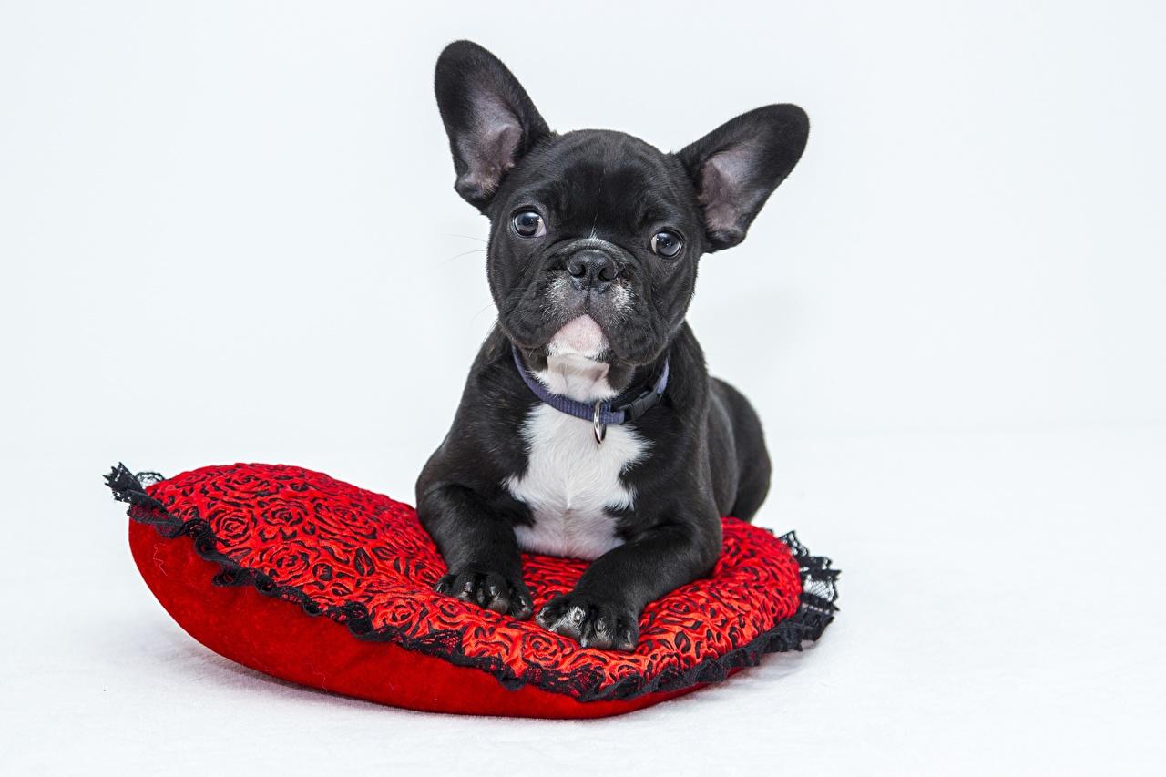 Фотографии бульдога собака черная смотрят животное Серый фон Бульдог Собаки черных черные Черный Взгляд смотрит Животные сером фоне