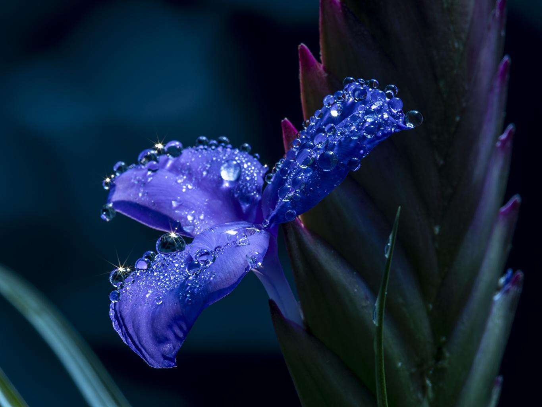 Фотография Размытый фон синие Ирисы Капли Цветы вблизи боке синяя Синий синих ирис капля капель цветок капельки Крупным планом