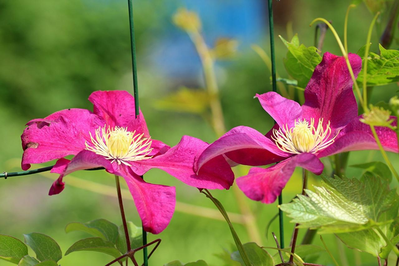Картинки розовая Цветы Ломонос Крупным планом розовых розовые Розовый цветок Клематис вблизи