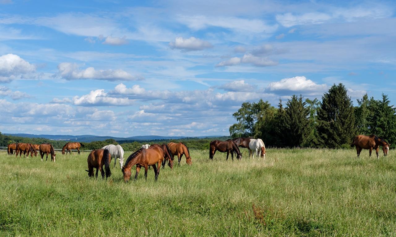 Фотография Лошади Стадо Луга траве животное лошадь Трава Животные