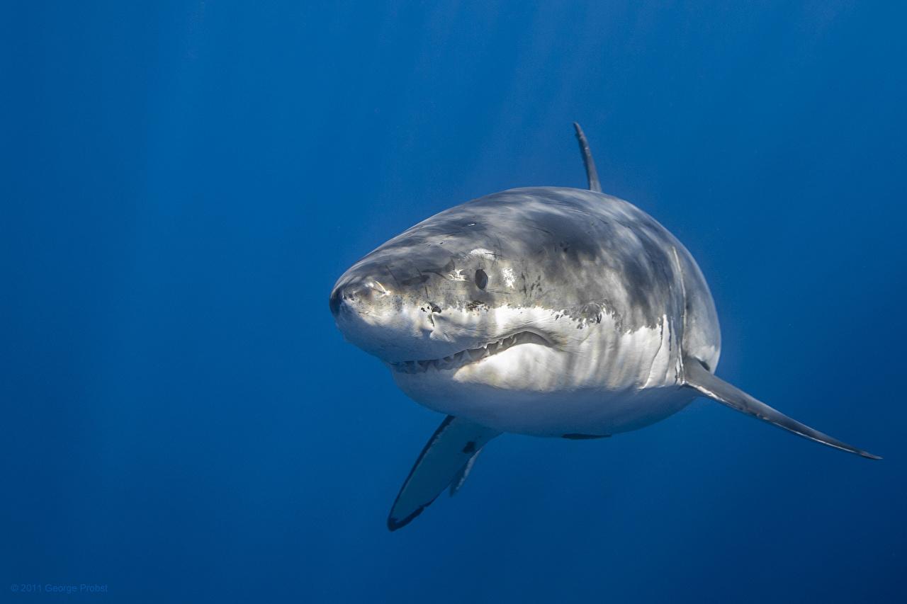 Фото Акулы Подводный мир Вода животное воде Животные