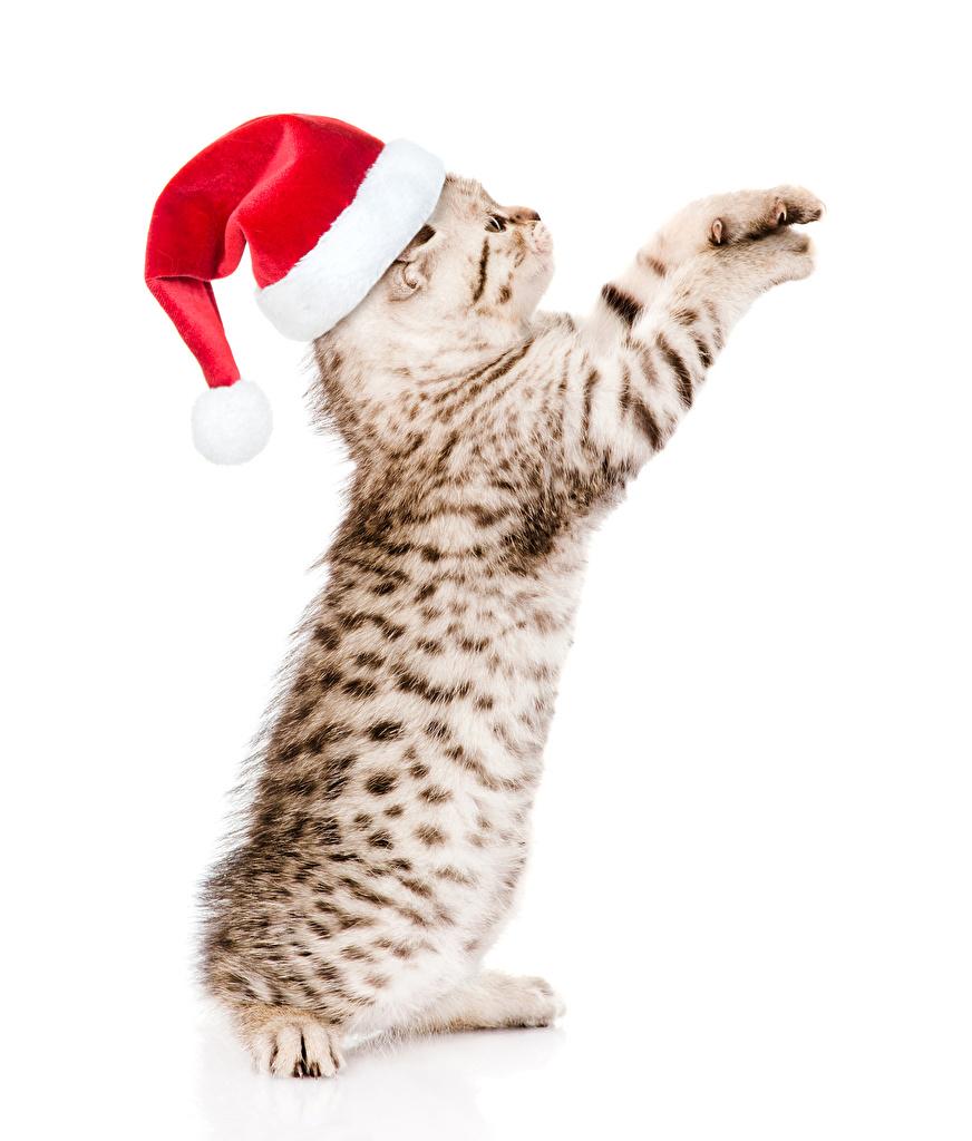 Картинка котят Кошки Рождество в шапке животное белым фоном  для мобильного телефона Котята котенка котенок кот коты кошка Новый год Шапки шапка Животные Белый фон белом фоне