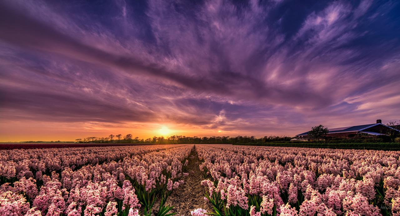 Картинка голландия Природа Поля Небо Рассветы и закаты Гиацинты Много Нидерланды рассвет и закат
