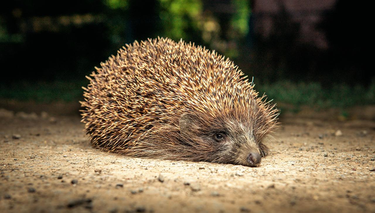 Фотографии Ежики животное Ежи Животные