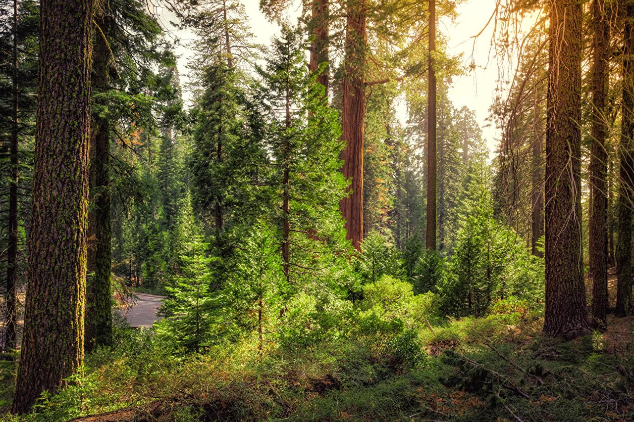 Обои Калифорния США Kings Canyon National Park Ель Природа Леса Парки Деревья штаты