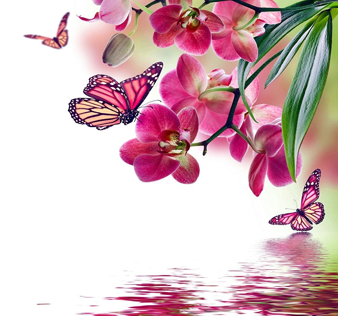 Картинка Данаида монарх Бабочки Насекомые Орхидеи Животные Рисованные