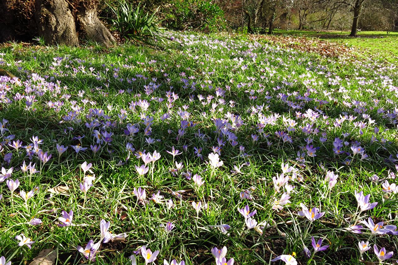 Обои для рабочего стола лондоне Англия Cannizaro Park Весна Парки Цветы Шафран Лондон весенние парк цветок Крокусы