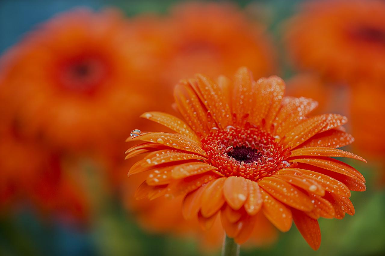 Фотография Герберы оранжевые Цветы капельки Крупным планом гербера оранжевая Оранжевый оранжевых капля Капли капель цветок вблизи