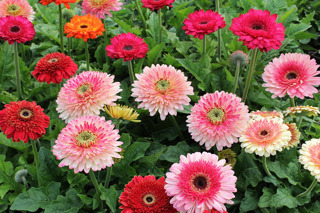 Обои для рабочего стола гербера цветок вблизи Герберы Цветы Крупным планом