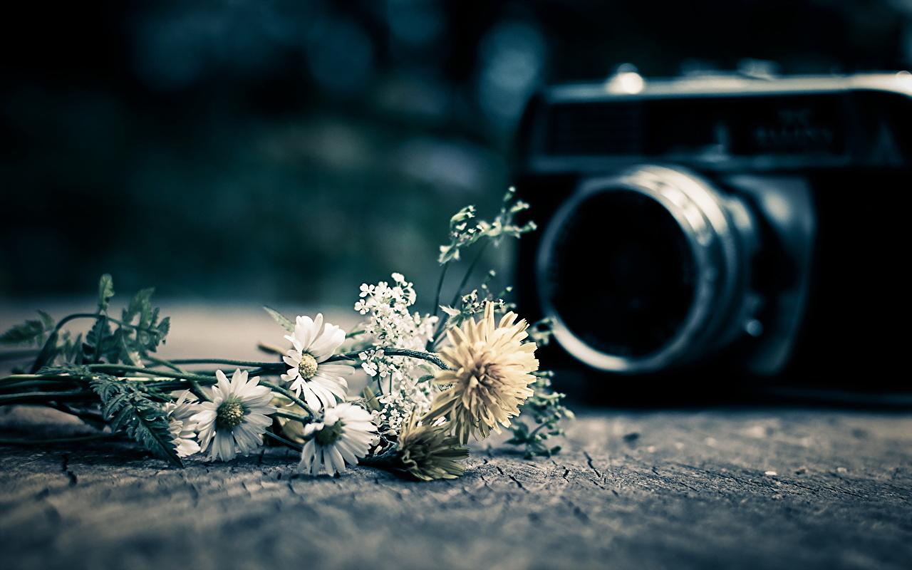 Обои для рабочего стола фотокамера цветок ромашка Крупным планом Фотоаппарат Цветы Ромашки вблизи