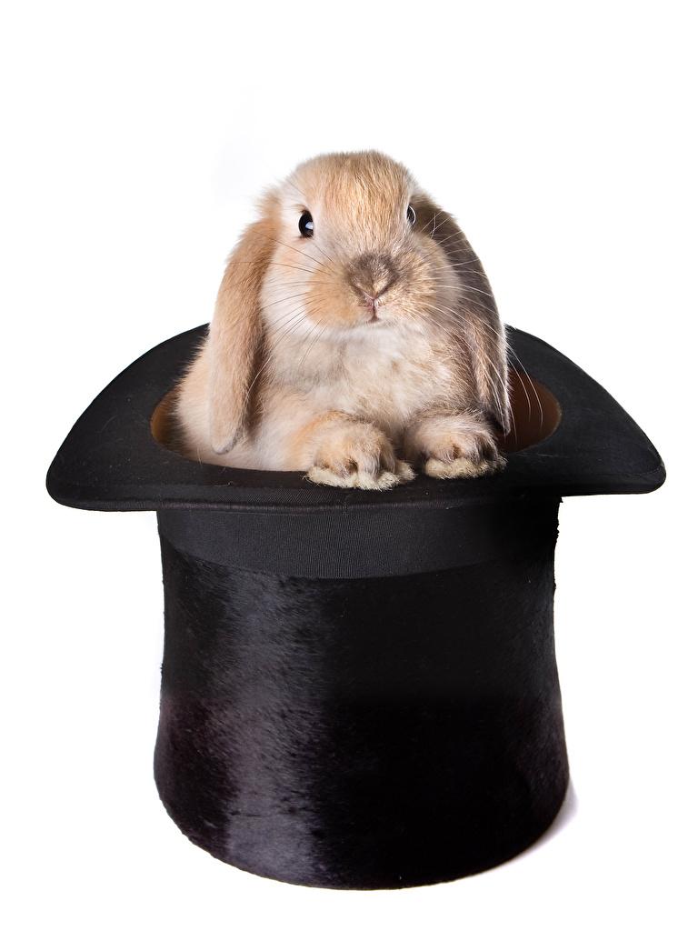 Картинка Кролики Шляпа Животные Белый фон шляпе шляпы